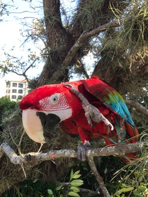 Zorro, a red-and-green macaw, takes in the sights after Hurricane Irma.
