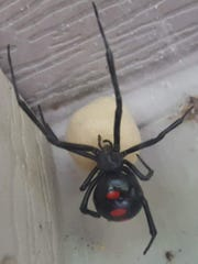 Pest control operators rarely see a black widow indoors,