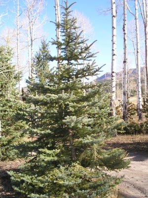 Online Christmas Tree permits will be available for purchase in the Gila National Forest beginning Nov. 16.