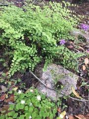Maidenhair fern grows along paths in urban garden.