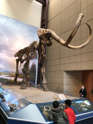 The Hebior Mammoth is on display at the Milwaukee Public Museum.