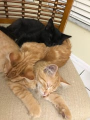 Foster Sharon Becker's kittens at home.