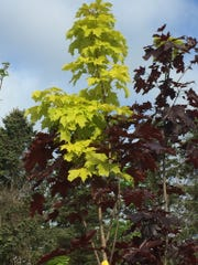 "Silver Creek Nurseries' green and gold maple tree ""The"