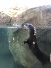 The new river otter exhibit at the zoo allows visitors