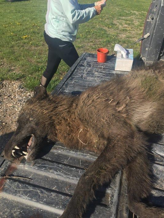 Wolf-like creature in Montana