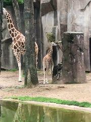 Maya, the baby giraffe, was born in May.