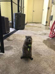 Gordy is taking over as the zoo's new groundhog.
