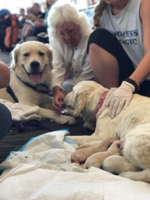 Eleanor Rigby, one of two service dog vest-wearing golden retrievers accompanying a passenger to Philadelphia on American Airlines, gave birth to eight puppies in a gate area at Tampa International Airport.