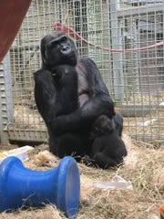Toni and baby gorilla Zahra met Sunday and are starting
