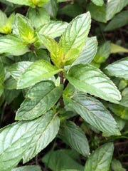 Chocolate mint is one of many varieties of mint, each