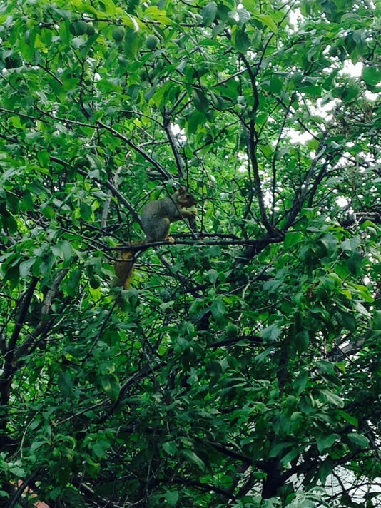 -squirrel tree pic.jpg_20140824.jpg