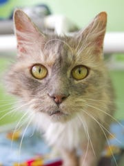 Bullet, a dilute Torti cat, is among the mature cats
