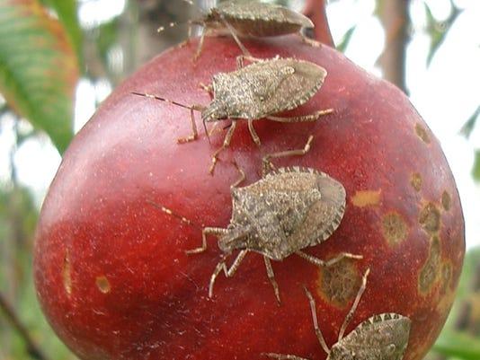 stink bug 4
