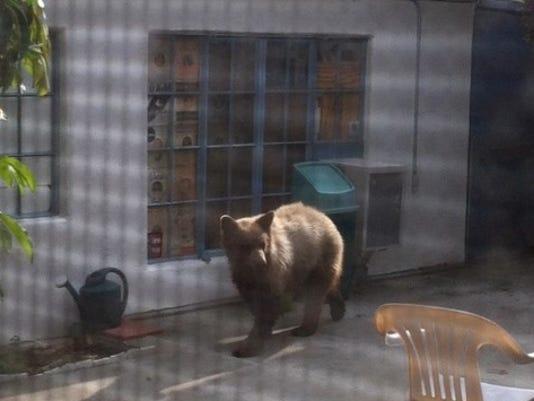 Altadina bear