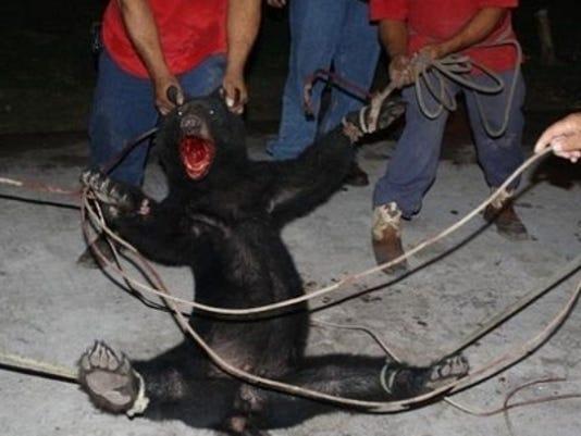 Mexican bear