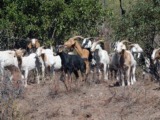 bunch of goats