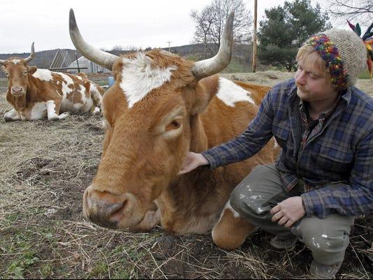 Oxen fate
