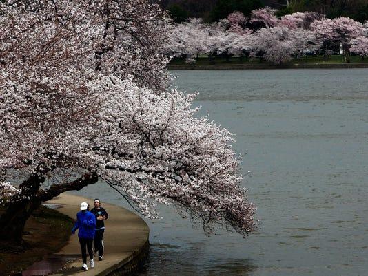 Tidal Basin cherry blossoms joggers