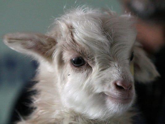 031512 goat