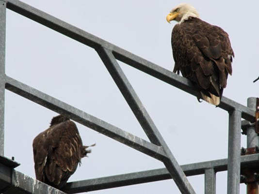 061311 bald eagles