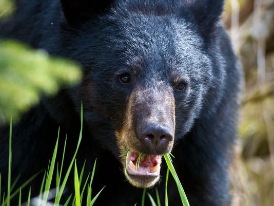 a discussion about a black bear attack In maine, there's more than one way to kill a black bear — for now  credibility  attacks that seems to accompany the bear hunting debate.