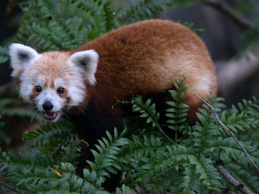 061813 rusty red panda