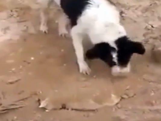 dog buries puppy