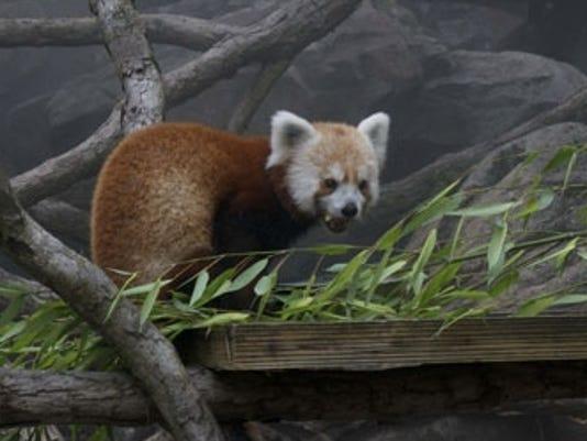 070913 rusty red panda