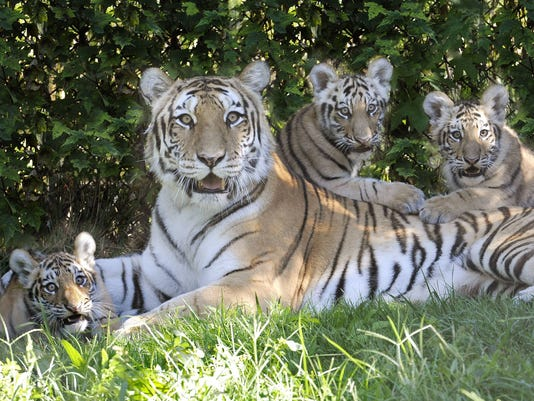 Bronx Zoo tigers