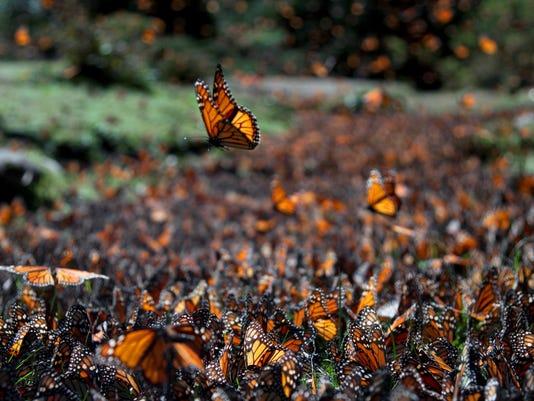 Monarch Butterfly swar...