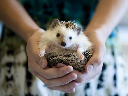 Health officials warn parents to be careful about pet hedgehogs for ...