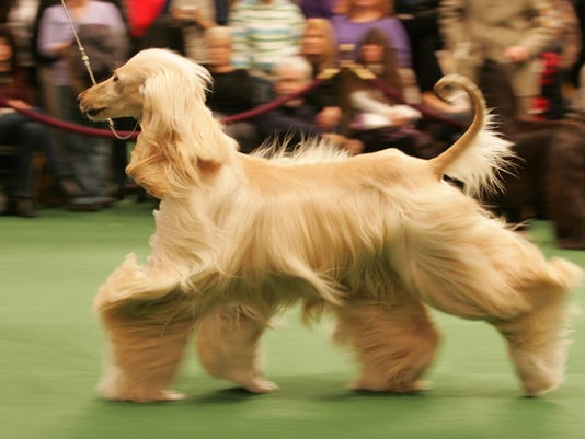 Westminster Dog Show  Hounds