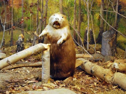 Beavers Sex 105