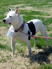 Saddle Bags is a 5-year-old, spayed, female pit bull
