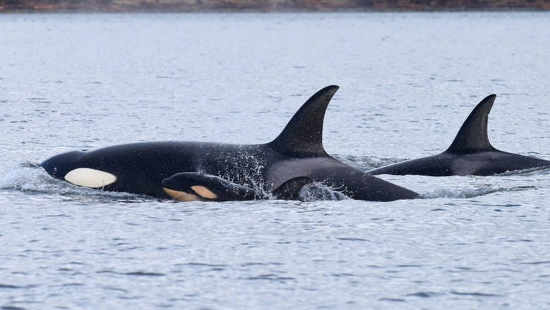 Killing Of Baby Orca Raises Questions About Whales Social Structure