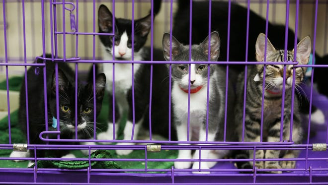 This litter of kittens at the Willamette Humane Society will soon be sent to the society's Kitten-Kaboodle Adoption Center while some other cats and kittens at the shelter are quarantined following a feline distemper outbreak.