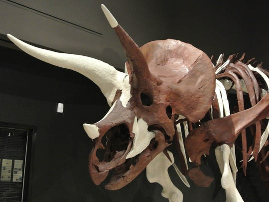 This Triceratops fossil came from the middle of the Hell Creek Formation. It is displayed at MSU's Museum of the Rockies.