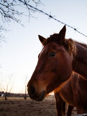 Red, a 25 year old horse, owned and once showed by