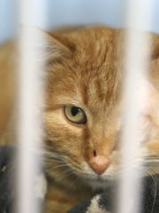 A rescued cat peers out from a kennel at Animal Lifeline of Des Moines.