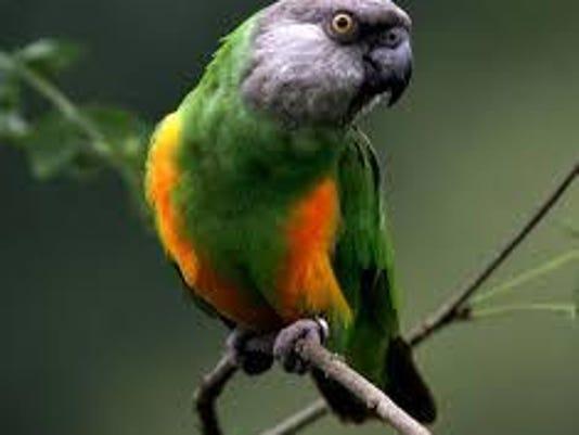 ply senegal parrot