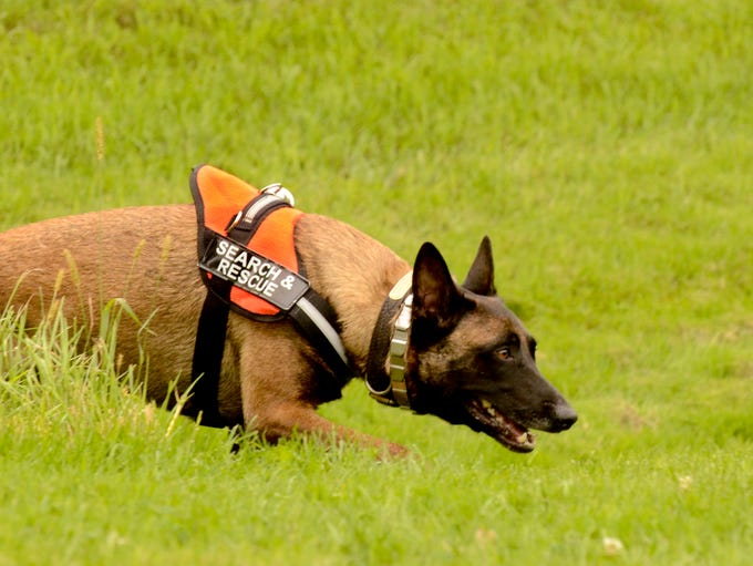 Grace Salm's dog Scout, 4-year-old Belgium Malinois, runs through search and rescue drills at their  home in Meeme on Thursday. The volunteer duo train weekly to aid in finding missing persons throughout Wisconsin and Northern Illinois as members of the Great Lakes Search and Rescue K-9 organization. Sue Pischke/HTR Media. Photo taken on Thursday, Sept. 11, 2014.
