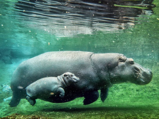 One of the Memphis Zoo's new mothers, Binti, a Nile hippopotamus, swims with her baby girl, Winnie, in the lagoon at the Zambezi River Hippo Camp. Binti gave birth to the 76-pound hippo on March 23.
