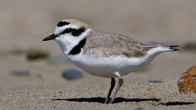 Access restrictions go into effect Saturday on Oregon's central and south coast beach nesting sites for the federally protected western snowy plover.