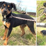 Roscoe is available at the Ouachita Parish Animal Shelter, 417 Well Road in West Monroe.