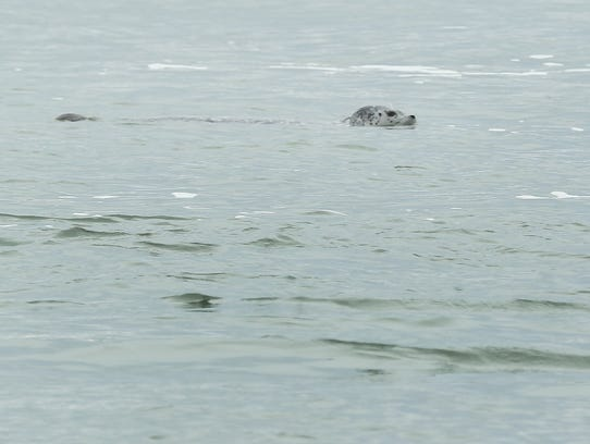 A harbor seal trolls the incoming high tide at Siletz