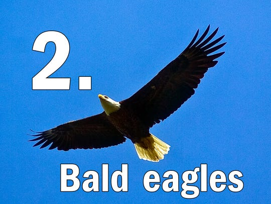 One of the Bald Eagles at Codorus State Park glides