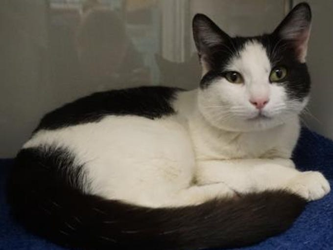 Steve is a 1-year-old black-and-white cat looking for