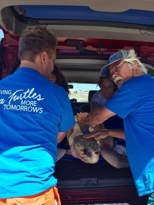 Gigi the Loggerhead Sea Turtle