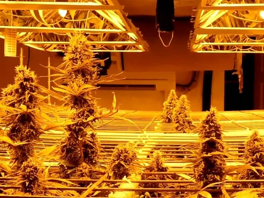 One of several marijuana grow operations found Tuesday.