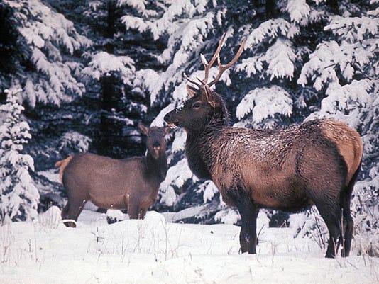 -elk in snow.JPG_20140304.jpg
